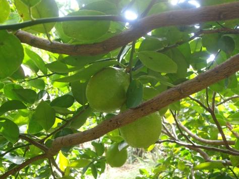 Tenemos muchos limones este año!